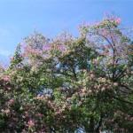 la Chorisia speciosa si caratterizza per la sua chioma fiorita in autunno