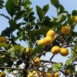 limone del lunario