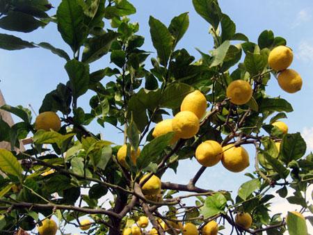 Il limone lunario: la pianta ideale per la fioritura invernale