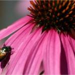 I coleotteri sono stati i primi insetti impollinatori