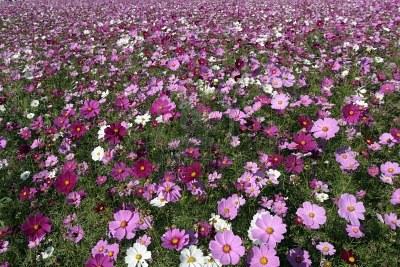 Piante Autunnali La Cosmea Cosmos Bipinnatus Giardinaggio