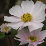 cosmea bipinnatus