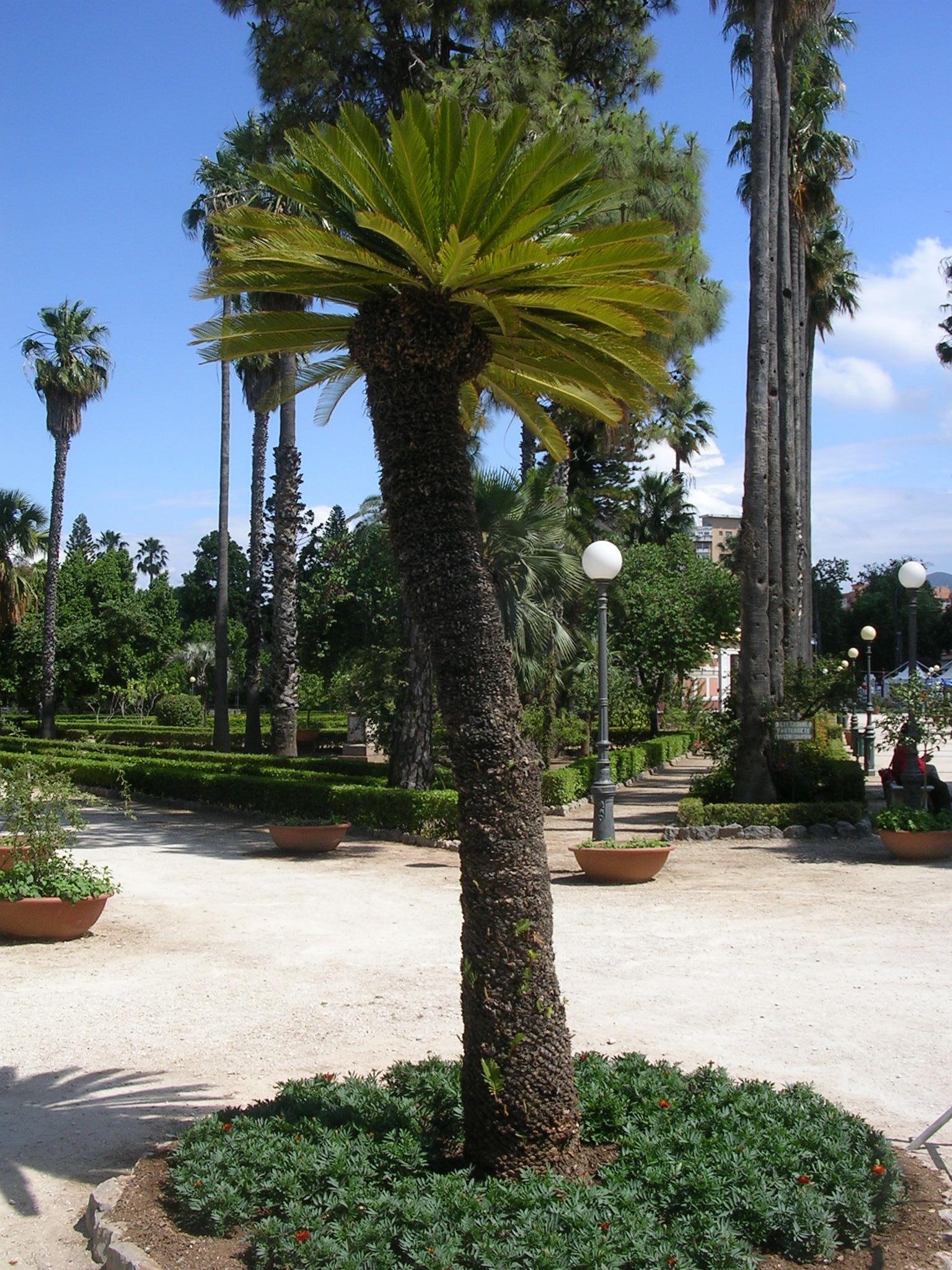 Le cycas bellissimi fossili viventi sembrano palme ma for Pianta cycas