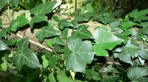 pianta rampicante sempreverde