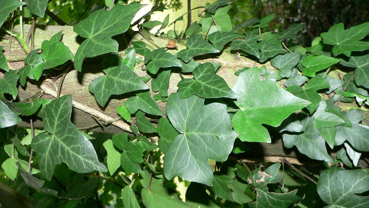 Edera Pianta Da Interno una pianta rampicante sul balcone - giardinaggio piante e fiori