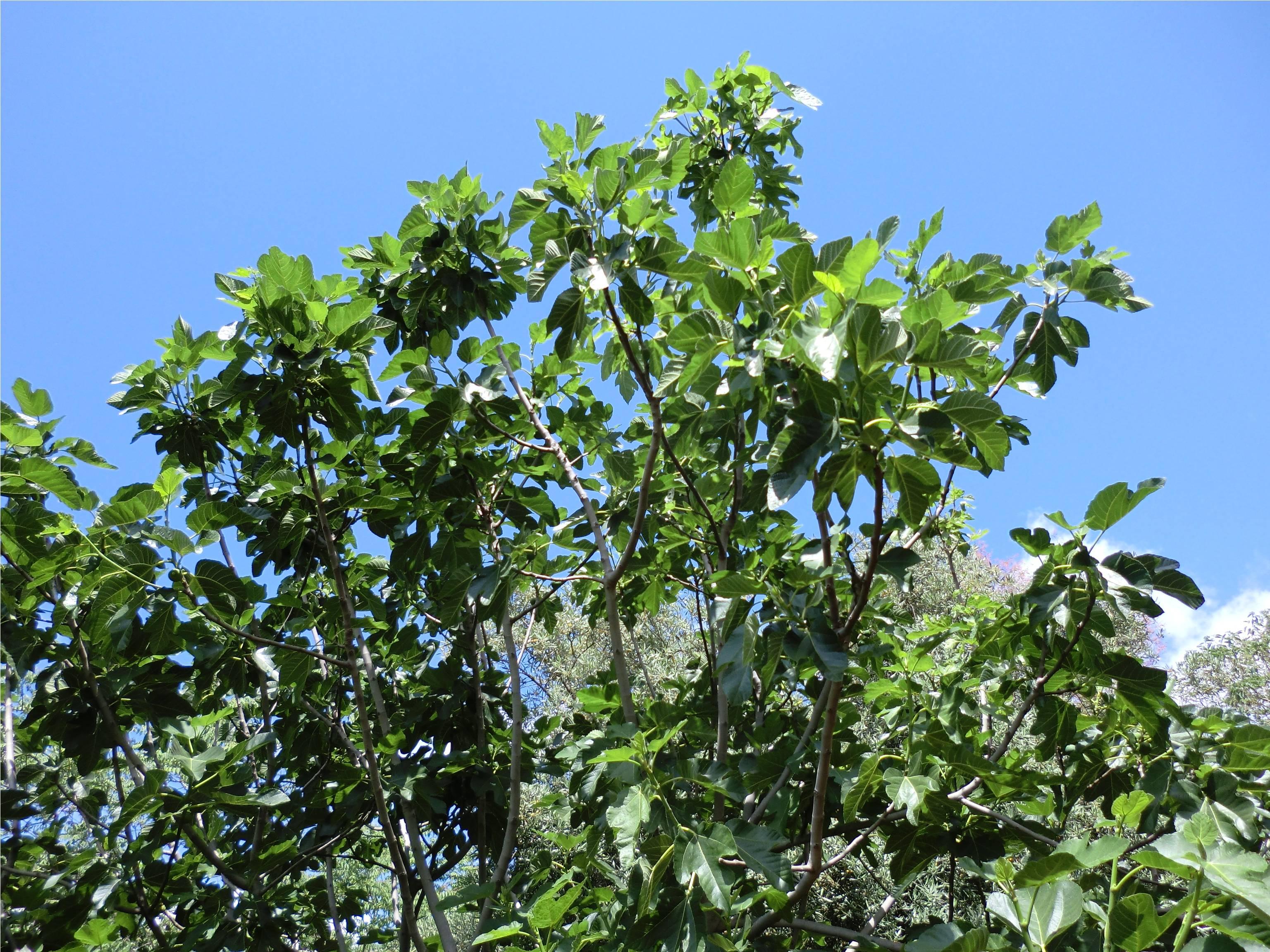 il fico albero coltivato da millenni giardinaggio