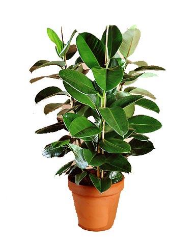 Pianta Usata Molto In Appartamento è Il Ficus Robusta Può Comunque Crescere  Molto