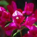 Bouganvillea - i fiori non fiori