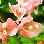 Bouganvillea - una lunga fioritura