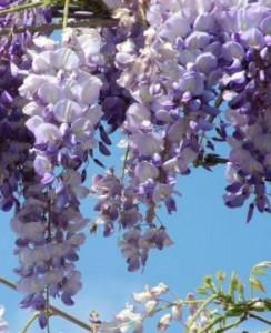 pianta rampicante con fiori