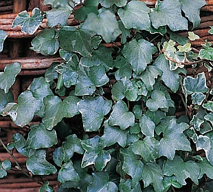 Hedera Pittsburgh