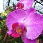 l orchidea
