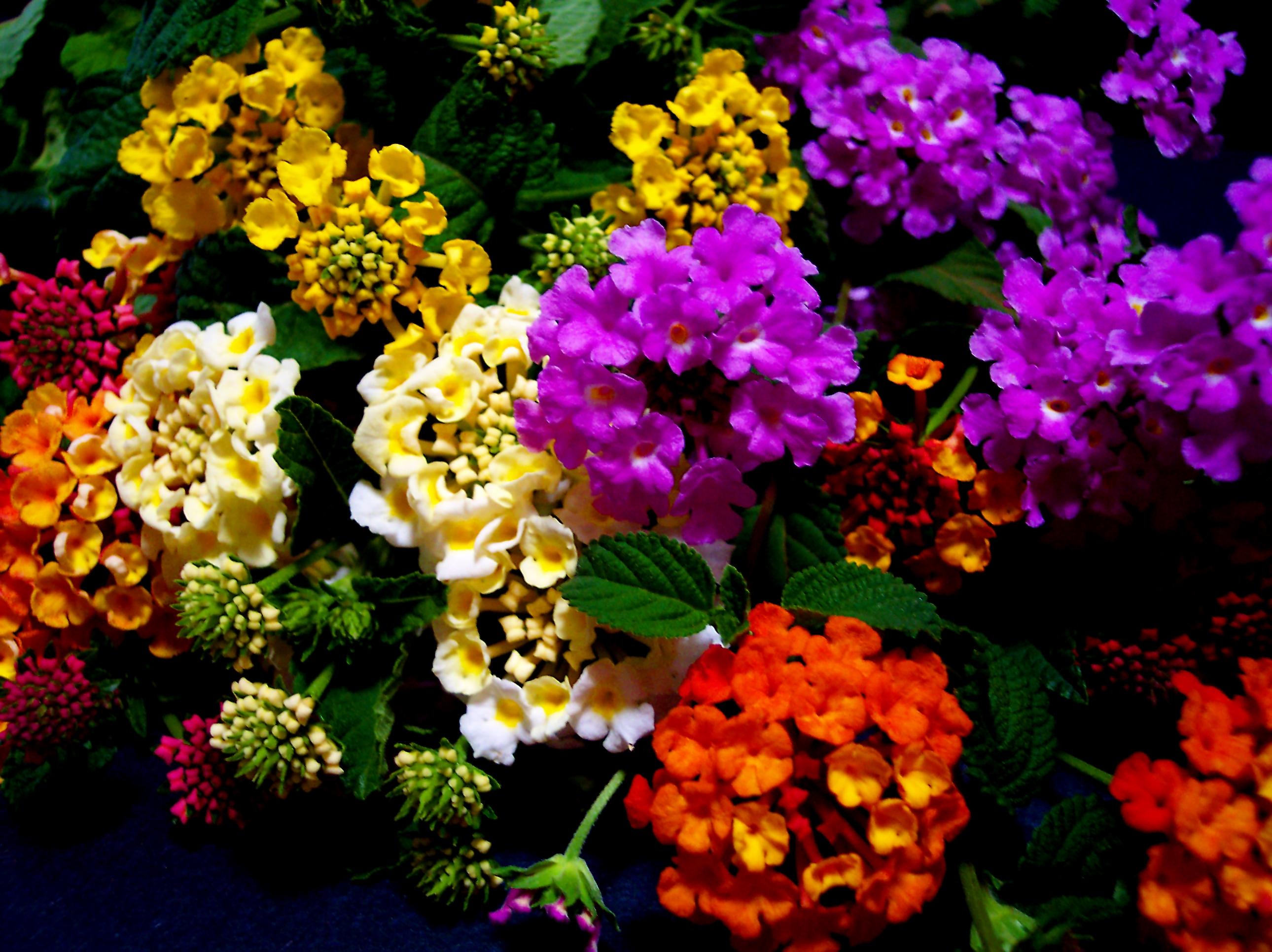La lantana pianta ornamentale o invasiva giardinaggio for Piante fiori