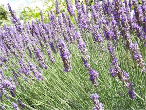 lavanda pianta officinale
