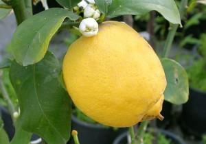 Albero nano alberi piante pianta di limone limoni 4 for Pianta di limone