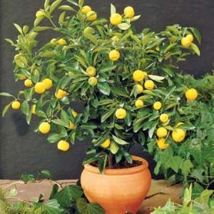 alberello di limone nano