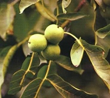 noce nocciolo e castagno alberi da frutto spontanei di