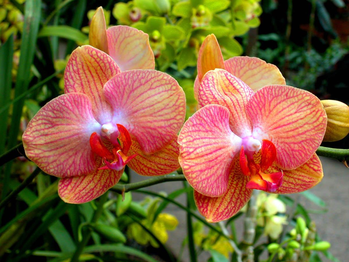 l orchidea scegli quella che fa 39 per te giardinaggio. Black Bedroom Furniture Sets. Home Design Ideas