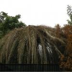 I danni causati dal Punteruolo in Italia sono stati per oltre il 90% a carico delle palme delle Canarie