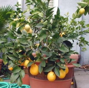 limone lunario in vaso