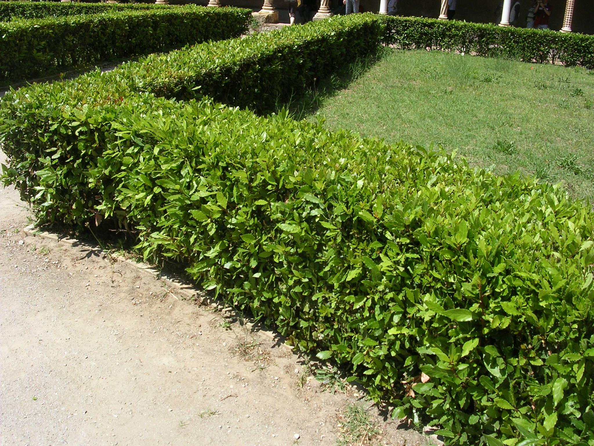 Piante Da Siepi Immagini siepi: come adornare il giardino con le piante da siepe