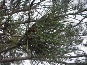 Pianta sempreverde : pino