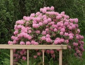 Rododendro potatura
