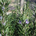Le piante di rosmarino possono essere utilizzate anche per siepi e bordure