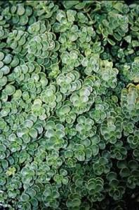 sedum pianta sempreverde