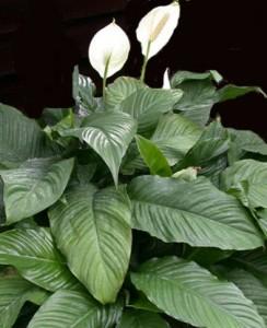 spathiphyllum wallisii