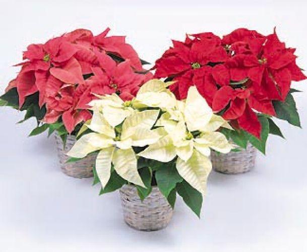 Stella Di Natale Luce.Come Far Durare La Stella Di Natale Tutto L Anno Giardinaggio