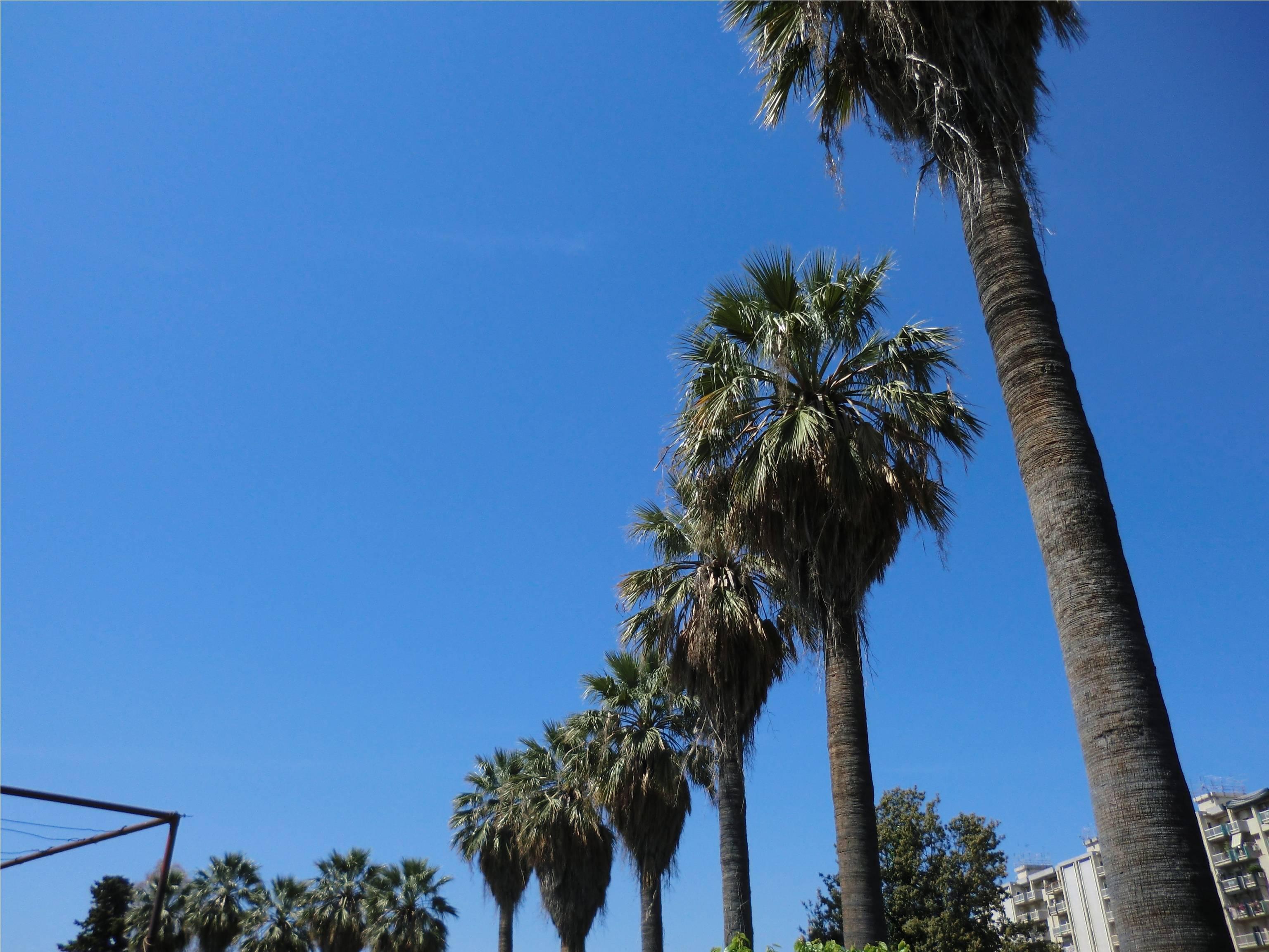 Punteruolo rosso delle palme quali palme mettere nel - Costo palma da giardino ...