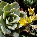 Pianta grassa fiorita esposta alla luce diretta del sole