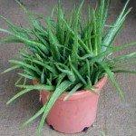 Aloe Vera coltivata in vaso