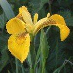 Aree paludose - Iris pseudacorus