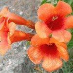 Bignonia grandiflora - fiori a tromboncino