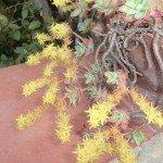 I fiorellini gialli di Sedum palmeri sono riuniti in infiorescenze che appaiono in primavera