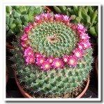 Cactus malattie