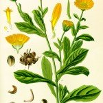 Calendula officinale
