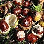 Castagna amara - Frutto dell'ippocastano