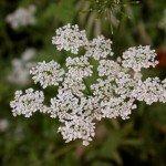 piante tossiche
