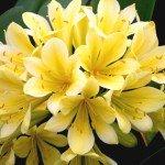 Clivia Good Hope regala una fioritura di colore giallo intenso