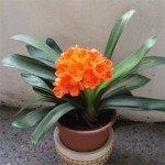 Coltivare la Clivia in vaso