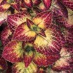 Coleus  pianta