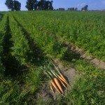 Semina delle carote
