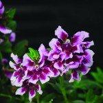 Cuphea Vienco Lavender
