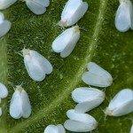 Fastidiosi moscerini bianchi
