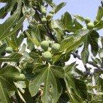 Ficus Carica - Fico coltivato
