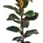 Ficus Elastica Variegata