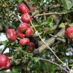 Frutta antica - Mele